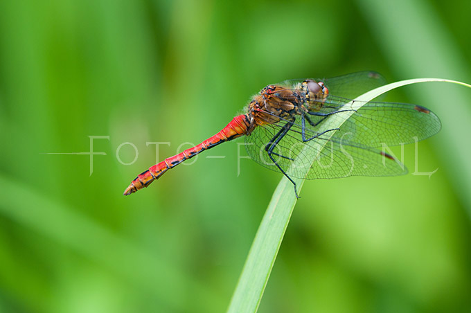 Sympetrum sanguineum - Bloedrode heidelibel1 -male