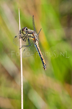 Sympetrum danae - Zwarte Heidelibel1- female