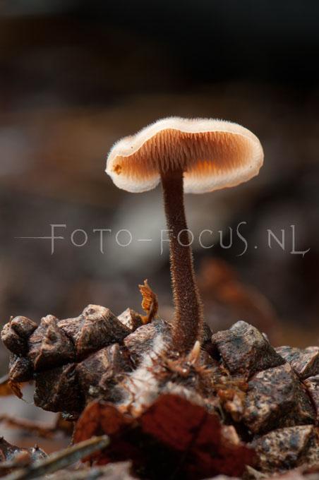 Auriscalpium vulgare - Oorlepelzw2