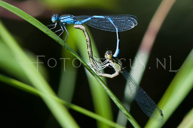 Enallagma cyathigerum - Watersnuffel4 -copula