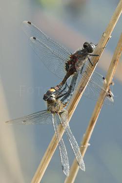 Leucorrhinia pectoralis - Gevlekte witsnuitlibel - copula