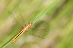 Macrodiplax cora1 - female
