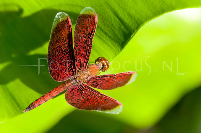 Neurothemis fluctuans2 - male