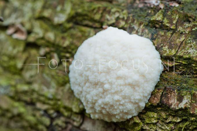 Reticularia lycoperdon - Zilveren boomkussen2