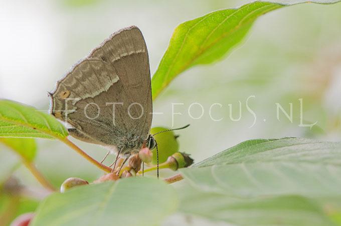 Favonius quercus - Eikenpage