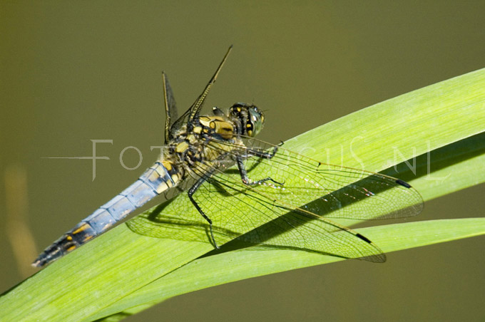 Orthetrum cancellatum - Gew.oeverlibel2-  male