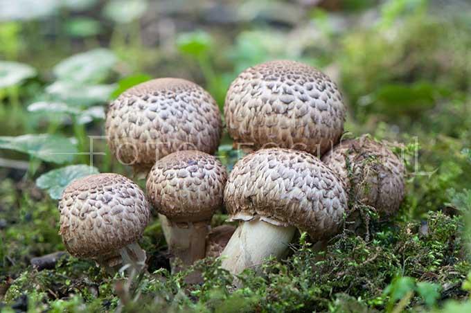 Agaricus silvaticus - Schubbige boschampignon