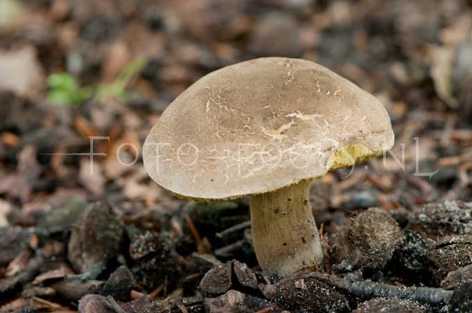 Xerocomus subtomentosus - Gew. fluweelboleet