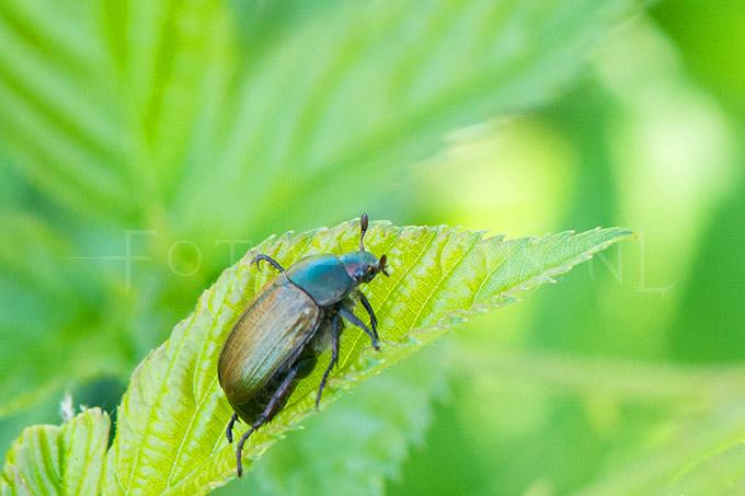 Phylopertha horticola - Rozenkever
