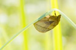 Euthrix potatoria - Rietvink-female