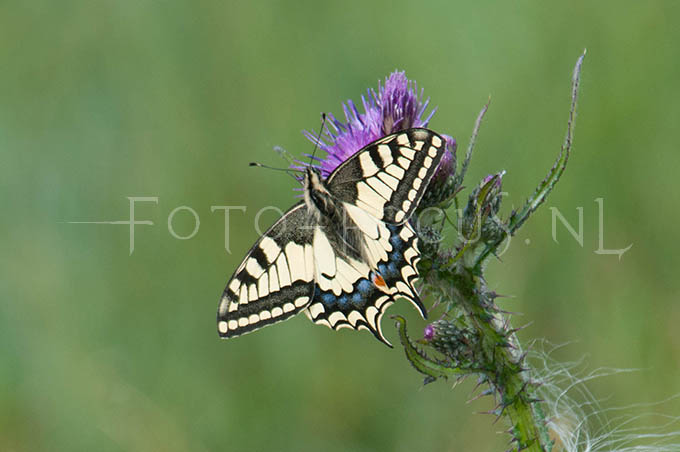 Papilio machaon - Konininnepage2
