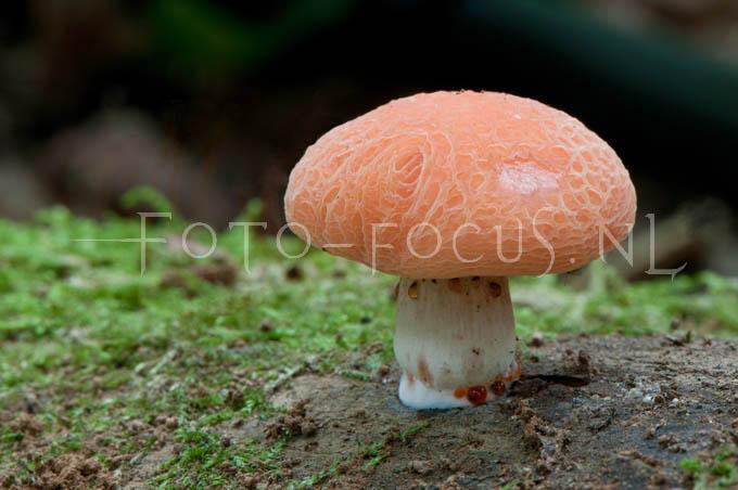 Rhodotus palmatus - Zalmzw2