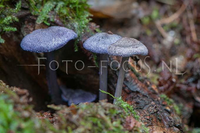 Entoloma euchroum - Violette satijnzw1