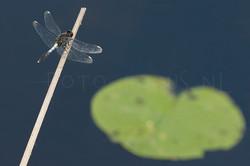 Leucorrhinia caudalis - Sierlijke witsnuit3 -male