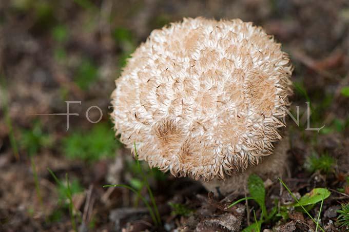 Lycoperdon echinatum - Stekelige stuifzw1