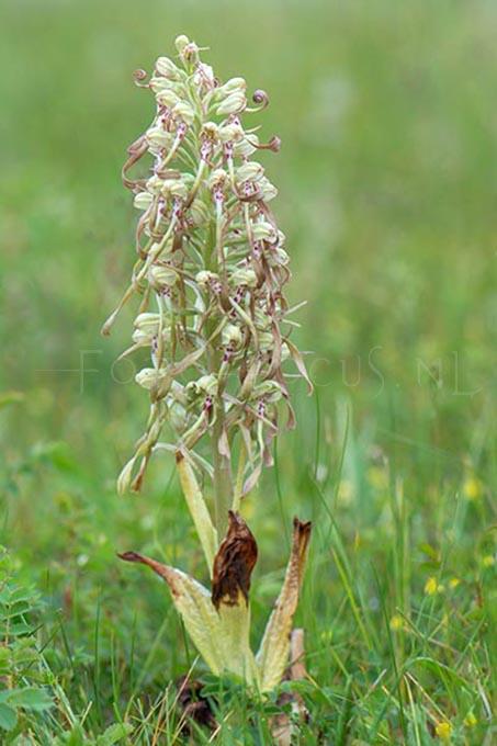 Himantoglossum hircinum - Bokkenorchis1