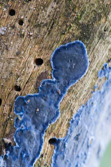 Terana caerulea - Blauwekorstzw