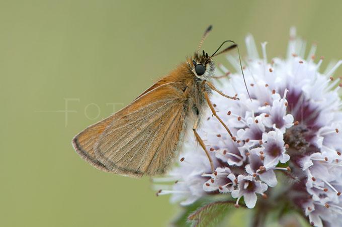 Thymelicus lineola- Zwartsprietdikkopje1
