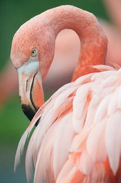 Phoenicopterus roseus - Flamingo1