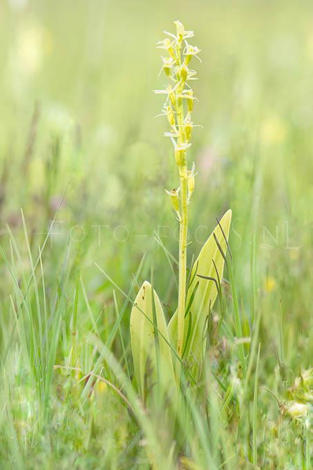 Liparis loeselii - Groenknolorchis1