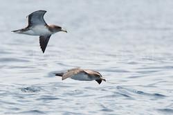 Fulmarus glacialis - Noordse stormvogel2