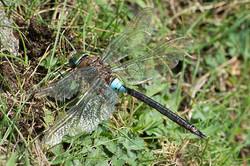 Anax parthenope - Zuidelijke keizerlibel -male
