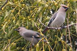 Bombycilla garrulus - Pestvogel