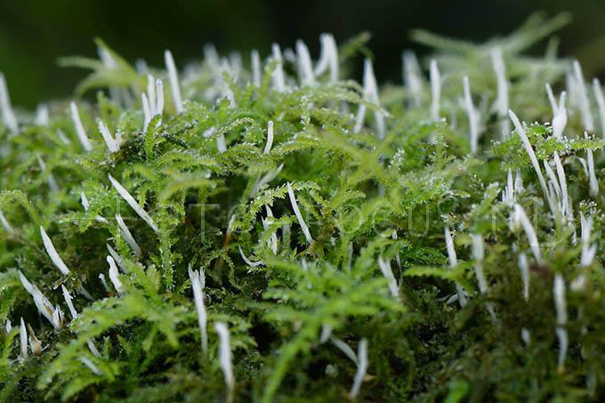 Eocronartium muscicola - Slank mossenknotsje
