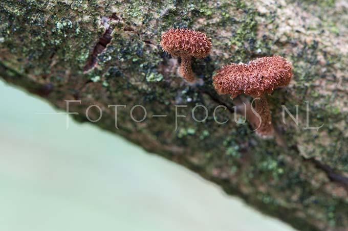 Phaeomarasmius erinaceus - Egelzw1