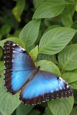 Morpho peleides - Blauwe morpho  1