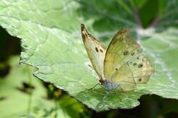 Protogoniomorpha parhassua - Parelmoervl