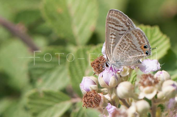 Lampides boeticus - Tijgerblauwtje2