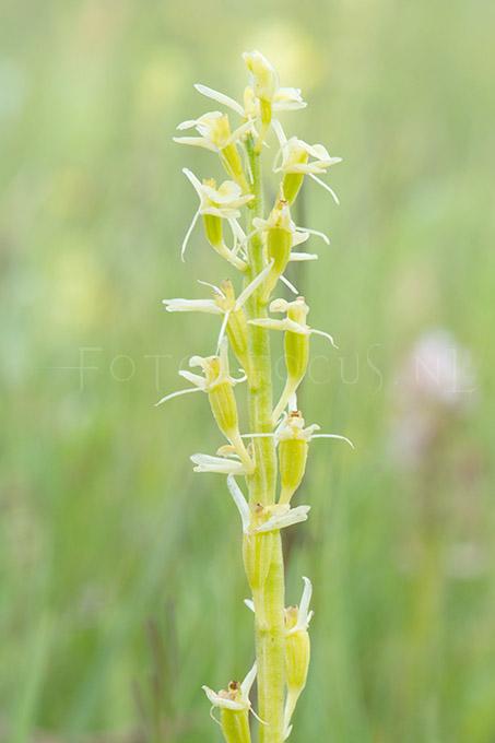 Liparis loeselii - Groenknolorchis2