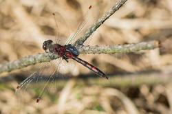 Leucorrhinia rubicunda - Noordse witsnuitlibel3-male