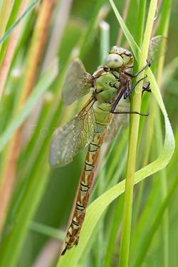 Aeshna viridis - Groene glazenmaker1 - female