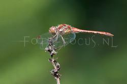 Sympetrum striolatum - Bruinrode heidelibel2- male