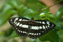 Neptis sappho - Lathyruszwever