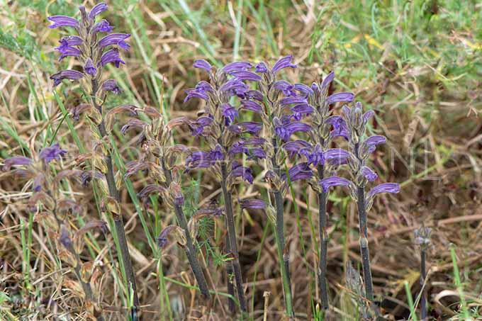 Orobanche purpurea - Blauwe bremraap