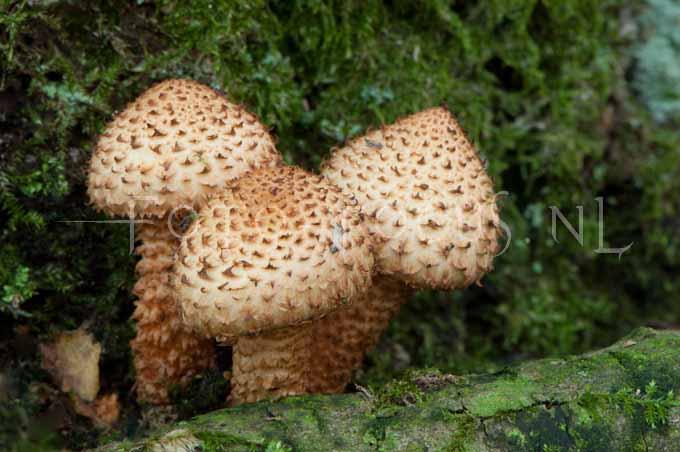 Pholiota squarrosa - Schubbige bundelzw1