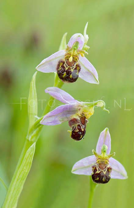 Ophrys apifera - Bijenorchis2