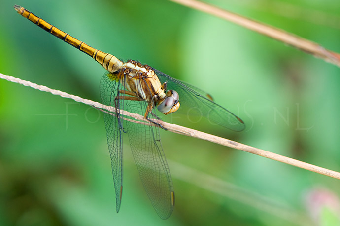 Orthetrum glaucum - female