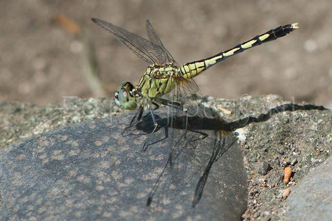 Diplacodes trivialis - female1