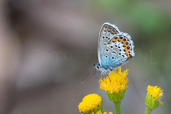 Plebejus argus - Heideblauwtje3 -male