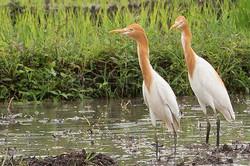Bubulcus ibis - Koereiger {zomerkleed)