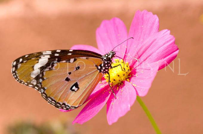 Danaus chrysippus - Kl. Monarchvlinder1