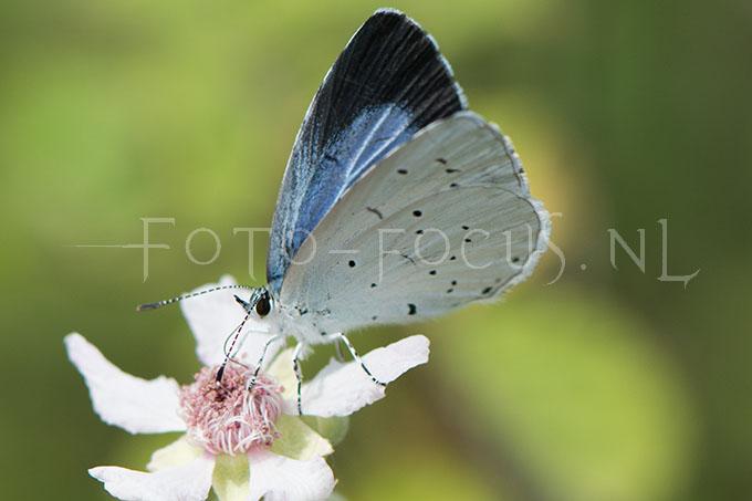 Celastrina argiolus - Boomblauwtje1