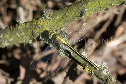Gomphus pulchellus - Plasrombout1 -female