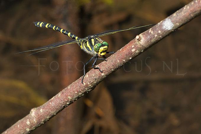 Cordulegaster boltonii - gew. bronlibel -male2