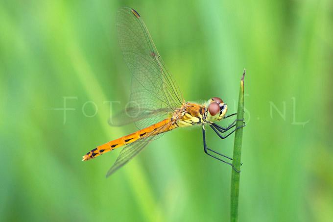 Sympetrum depressiusculum - Kempense heidelibel2 - y female