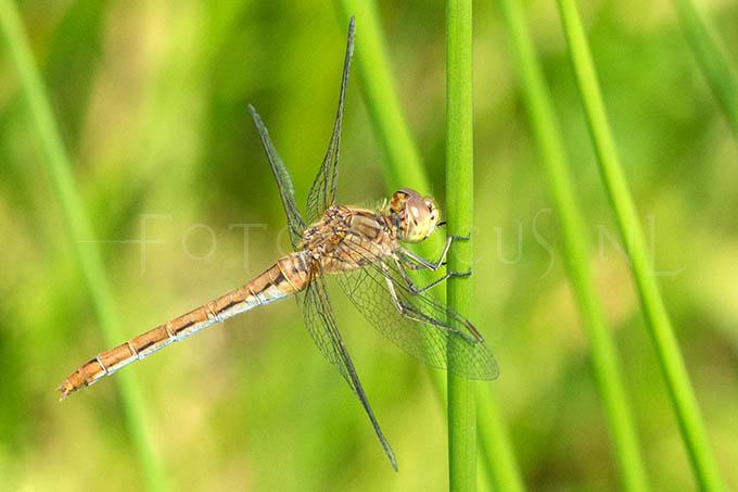 Sympetrum meridionale - Zuidelijke heidelibel1 - female